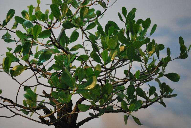 Mangrove bonsai Dsc_0318