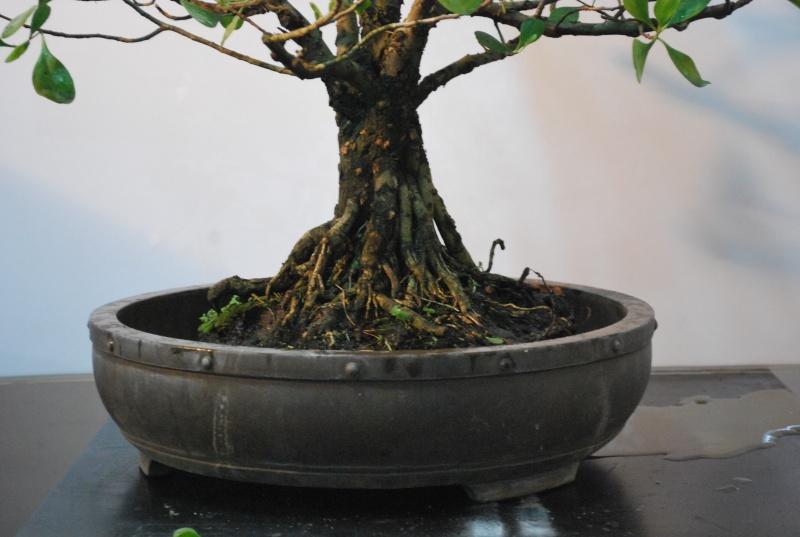 Mangrove bonsai Dsc_0319