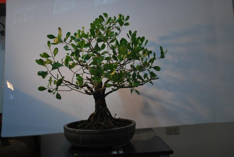Mangrove bonsai Dsc_0320