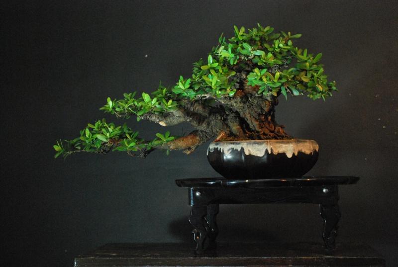 """Ixora chinensis -""""santan"""" Dsc_0341"""