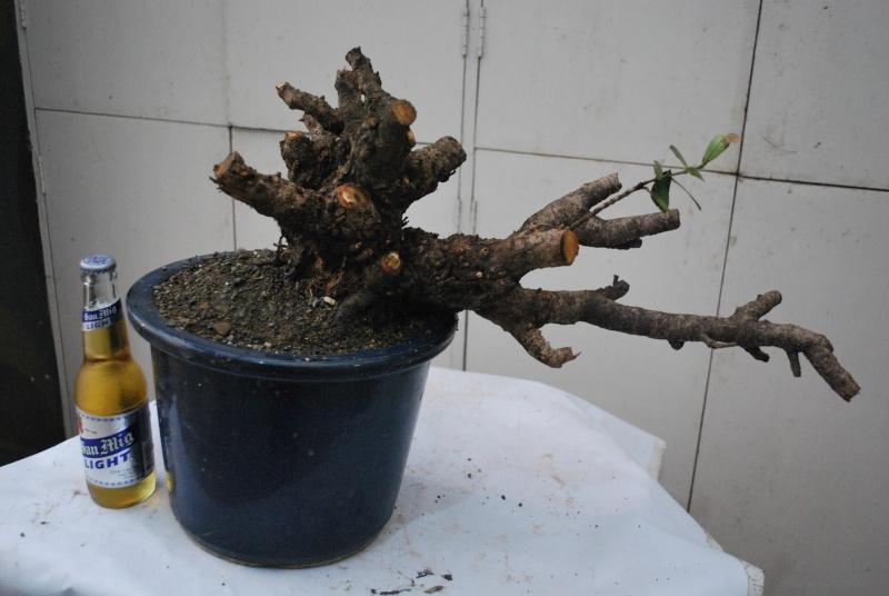 """Ixora chinensis -""""santan"""" Dsc_0343"""