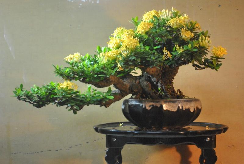 """Ixora chinensis -""""santan"""" Dsc_0841"""
