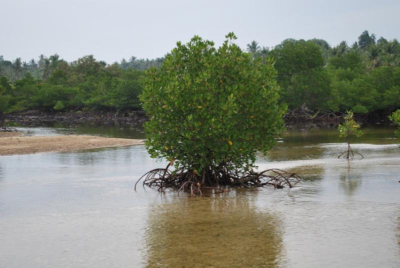 Mangrove bonsai Dsc_1042