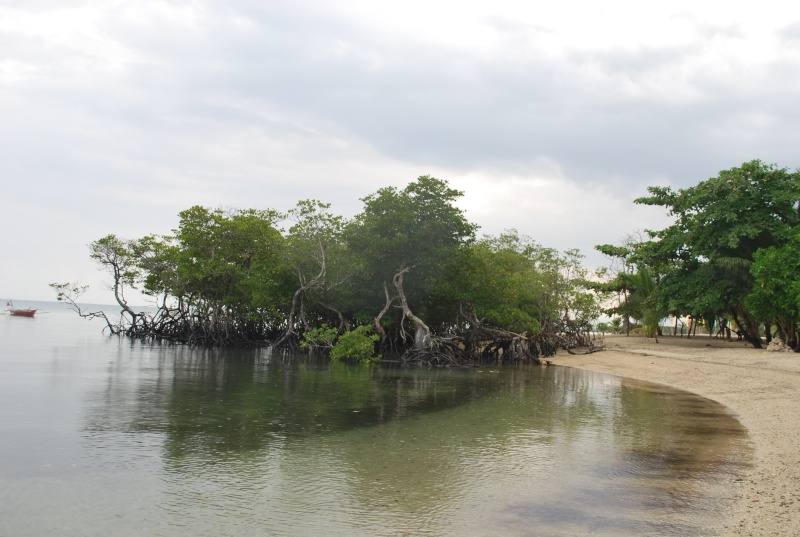 Mangrove bonsai Dsc_1044