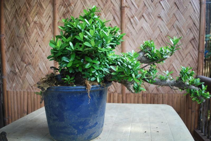 """Ixora chinensis -""""santan"""" Dsc_2129"""