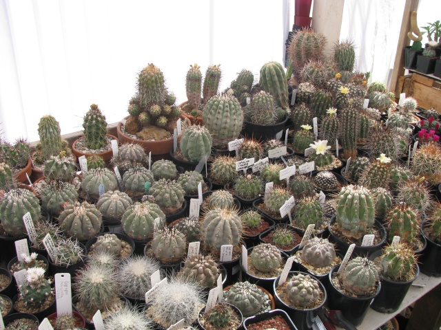 Some Copiapoa Cactus11