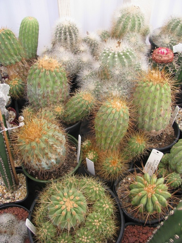 Some Copiapoa Greenh10