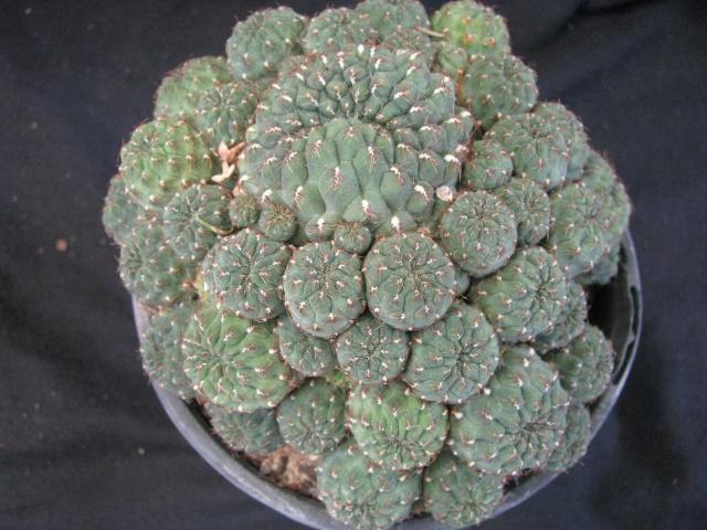 sulcorebutia Sulcor12