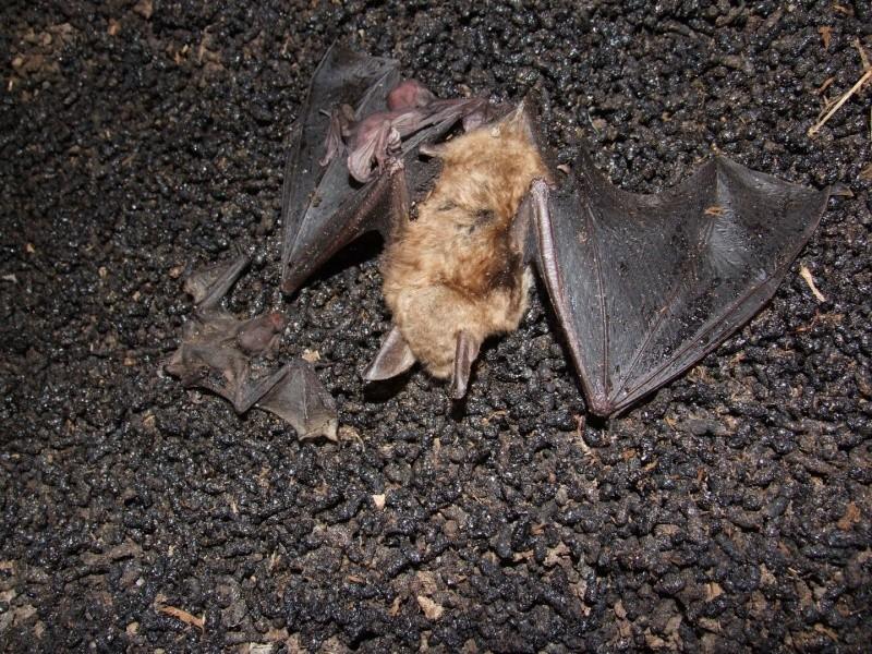 Suivis de la mise-bas des chauves-souris - Cuvée 2012 Dscf2313