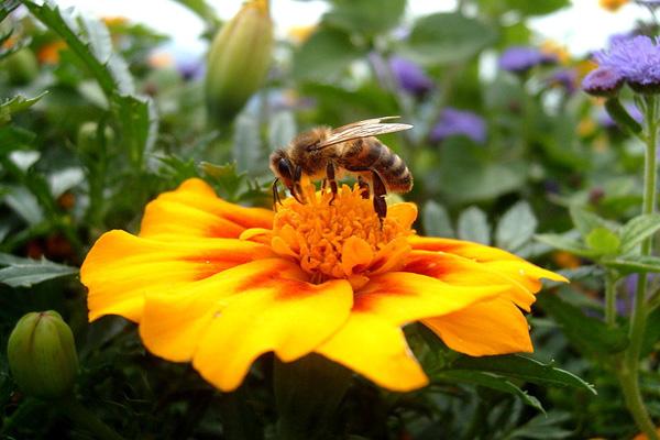 إذا أنقرض النحل سيموت البشر  6555911