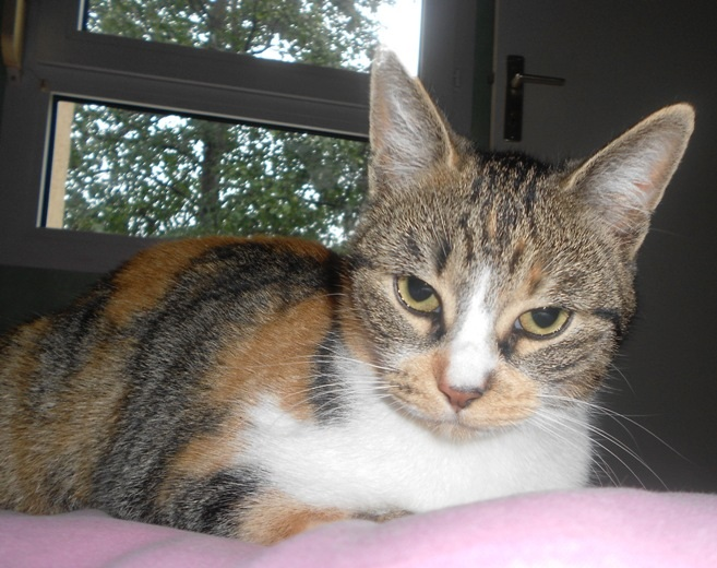 Gazouille chatte brown patched tabby et blanc née le 01/04/2011 - BDS (35) Gazoui11