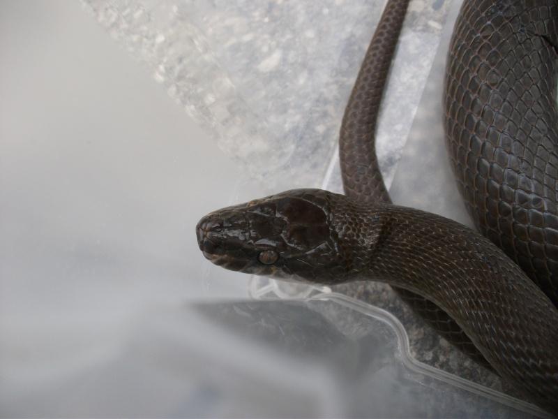 Haroéris, lamprophis fuliginosus femelle Dscf5810