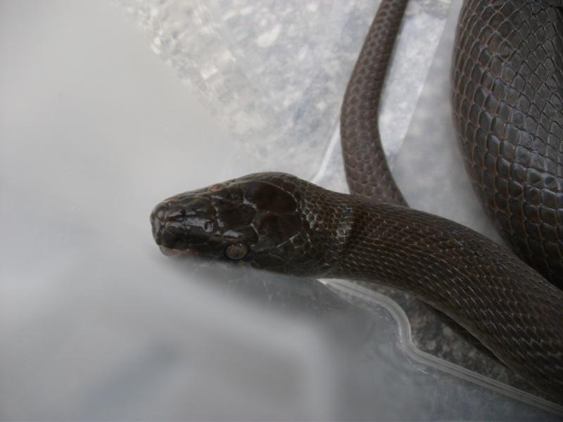 Haroéris, lamprophis fuliginosus femelle Dscf5811