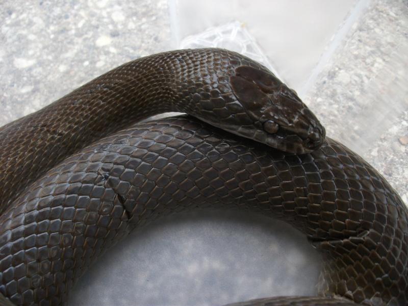 Haroéris, lamprophis fuliginosus femelle Dscf5812