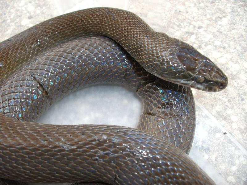 Haroéris, lamprophis fuliginosus femelle Dscf5813