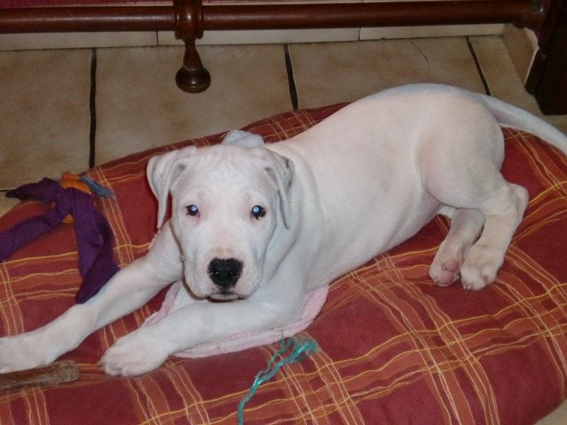 Les dogues Argentin Gus10
