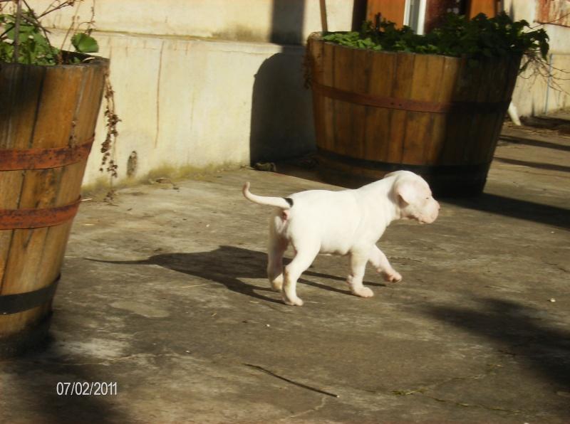 Les dogues Argentin Lana_210