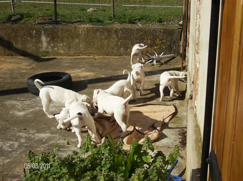 Les dogues Argentin Les_p_10