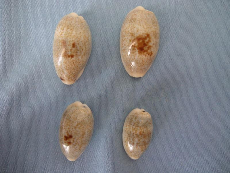 Erronea errones caerulescens - (Schröter, 1804) 00113