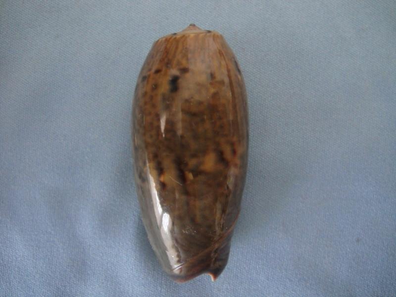 Viduoliva vidua f. fulminans (Lamarck, 1810) 01214