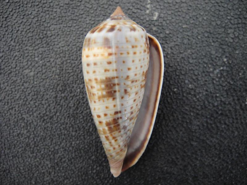 Conus (Phasmoconus) cinereus  Hwass in Bruguière, 1792 Conus128