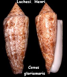 Conus (Cylinder) gloriamaris   Chemnitz, 1777 - Page 4 Conus212