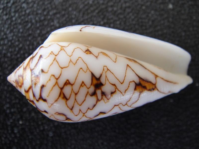Conus (Cylinder) archiepiscopus verriculum   Reeve, 1843 Conus_32