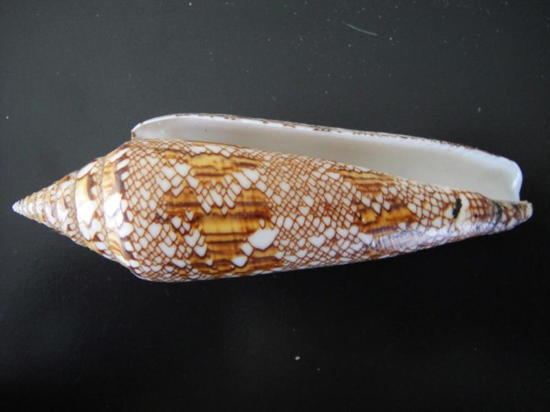 Conus (Cylinder) bengalensis   Okutani, 1968 Conus_34