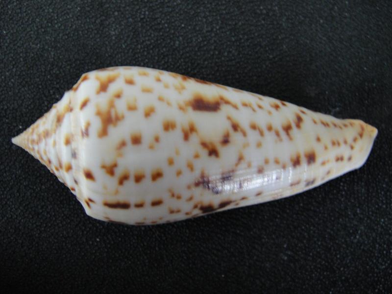 Conus (Phasmoconus) pretiosus  G. Nevill & H. Nevill, 1874 Conus_35