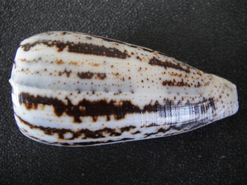 Conus (Pionoconus) magus assimilis Adams, 1855 voir Conus (Pionoconus) magus Conus_68