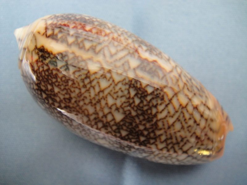 Viduoliva reticulata (Röding, 1798) Oliva_37