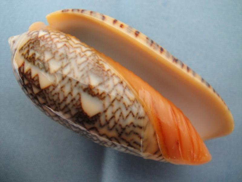 Viduoliva reticulata (Röding, 1798) Oliva_38
