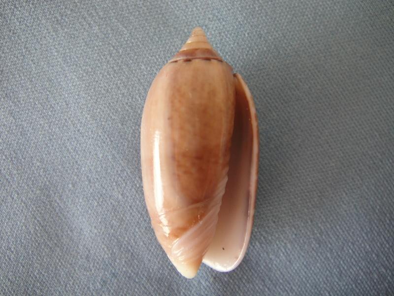 Americoliva flammulata flammulata (Lamarck, 1811) - Worms = Oliva flammulata Lamarck, 1811 - Page 2 Oliva_42