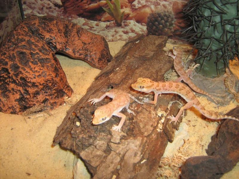Stenodactylus sthenodactylus Img_0410
