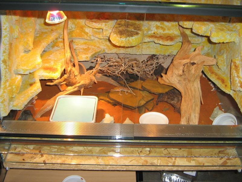 Stenodactylus sthenodactylus Img_0512