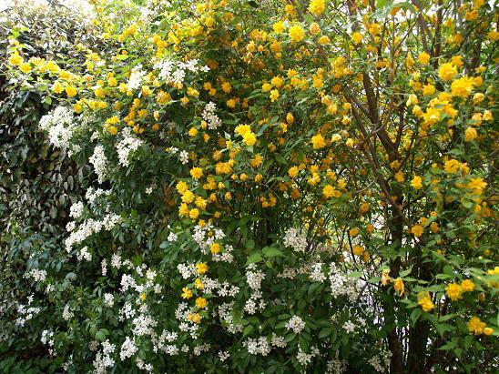 Corete a fleurs double 05_10_10
