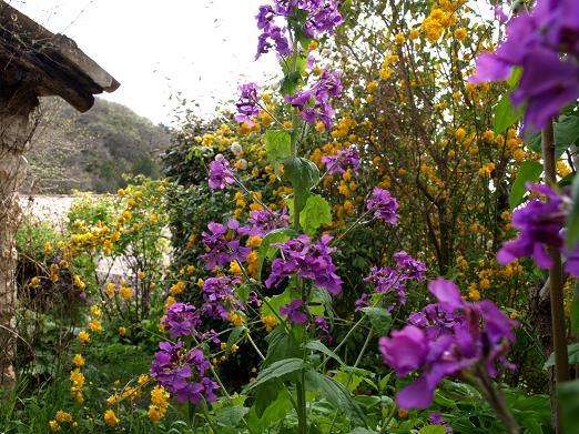 Corete a fleurs double Jarloz19
