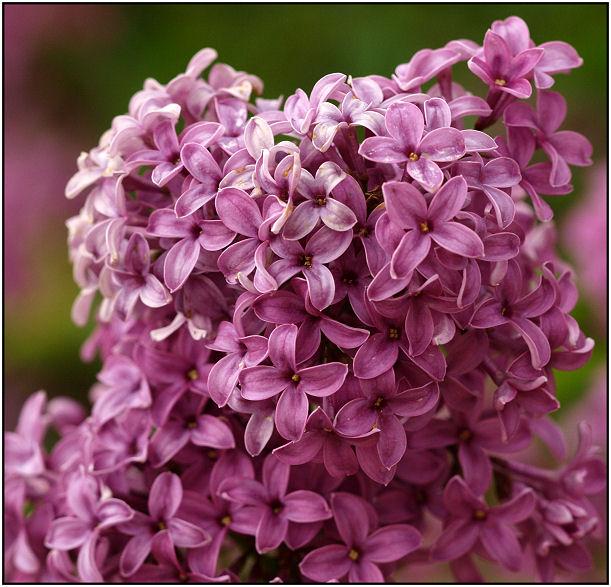 Balade florale du matin Lilas10