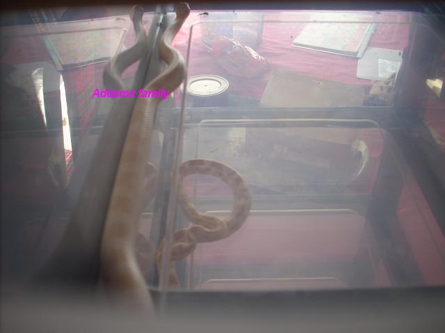 autres reptiles addams family Dscn3086