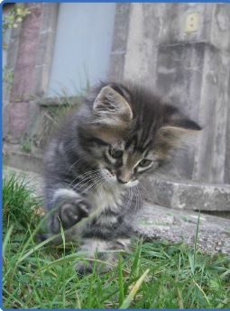 chatons maine coons Captur11