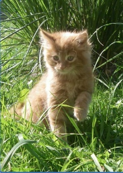 chatons maine coons Captur12