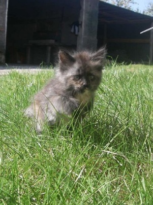 chatons maine coons Captur13