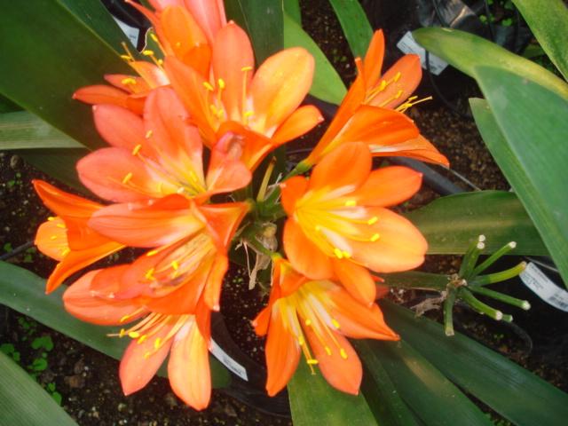 A la recherche de la mystérieuse fleur d automne Amaryl10