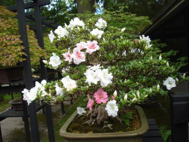Jardin merveilleux Bonsai11