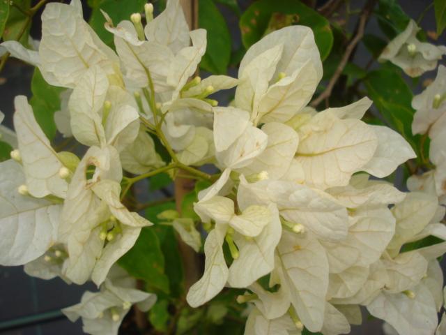 A la recherche de la mystérieuse fleur d automne Bougai15