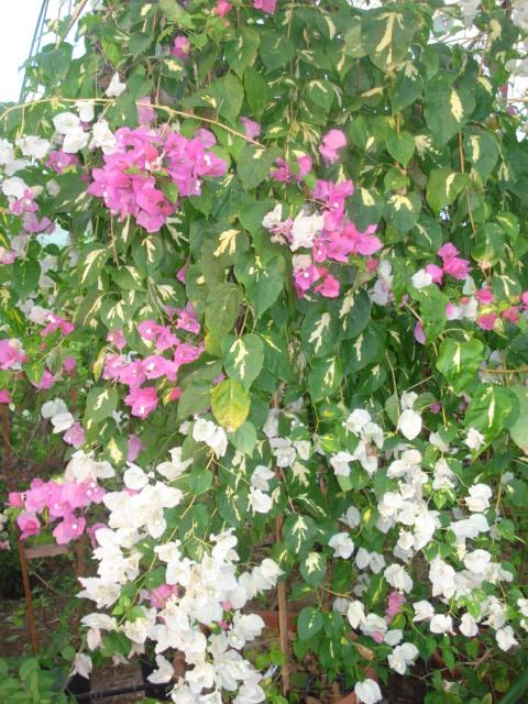 A la recherche de la mystérieuse fleur d automne Bougai16