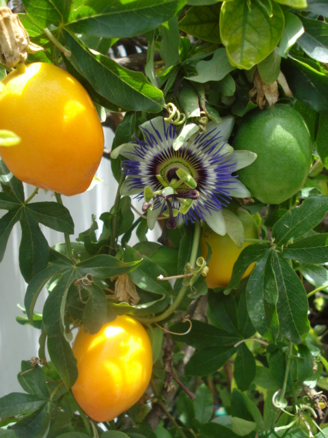"""Notre collection """"passiflora"""" - Page 5 Caerul10"""