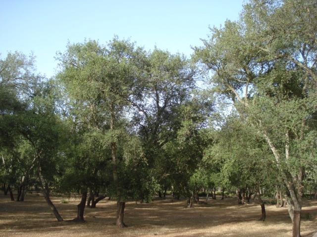 Le chêne liège Chene_12