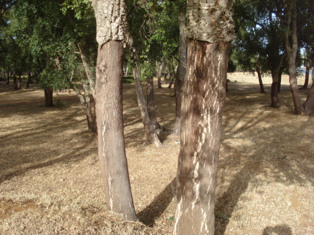 Le chêne liège Chene_13