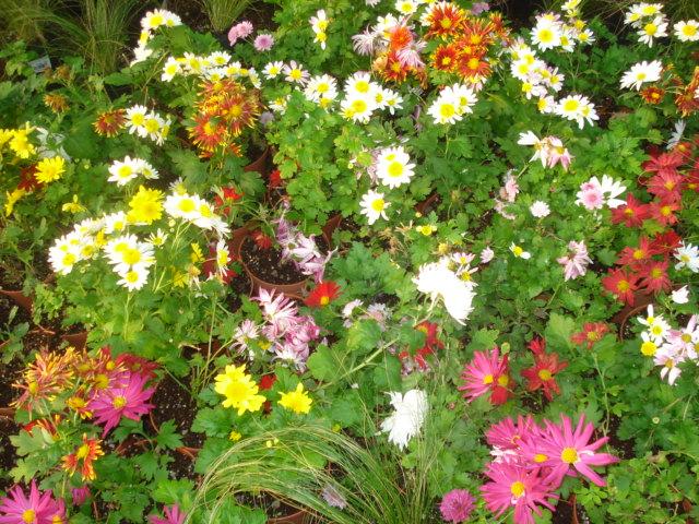 A la recherche de la mystérieuse fleur d automne Chrysa10